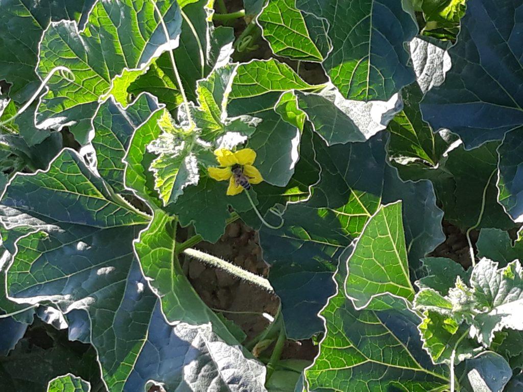 Foto von Melonen-Blüte