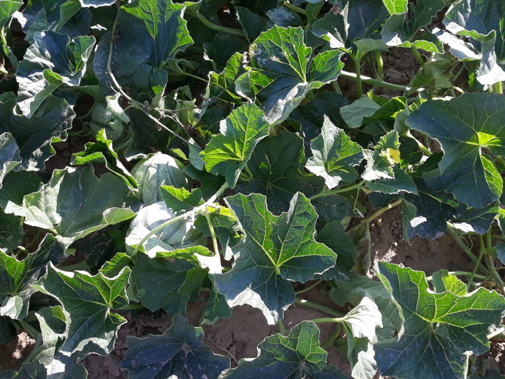 Foto von Melonen-Pflanze
